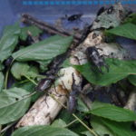 国内で採集できるカブトムシ・クワガタの主な種類